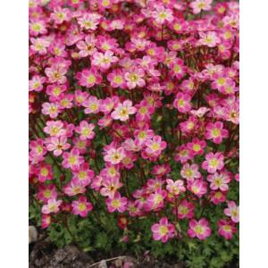 Saxifraga x arendsii 'Pixi Pan Red' – Kőtörőfű