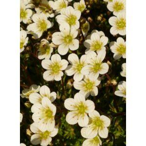 Saxifraga x arendsii 'Pixie White' - Kőtörőfű