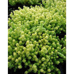 Sedum acre 'Aureum' - Sárga virágú varjúháj