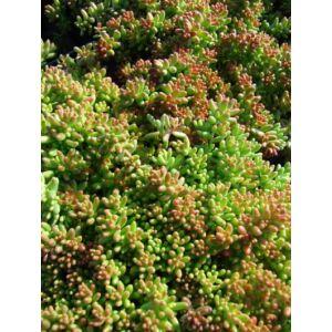 Sedum album 'Coral Carpet' - Fehér varjúháj
