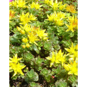 Sedum floriferum 'Weihenstephaner Gold' - Varjúháj (sárga virág, zöld lomb)