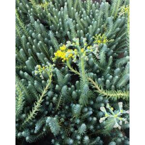 Sedum reflexum 'Blue Spruce' – Kövi varjúháj