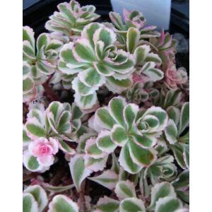 Sedum spurium 'Tricolor' - Kaukázusi varjúháj