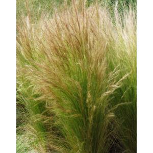 Stipa tenuifolia - Árvalányhaj