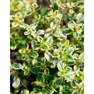 Thymus vulgaris 'Aureus' – Aranylombú kakukkfű