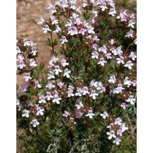 Thymus vulgaris - Kakukkfű
