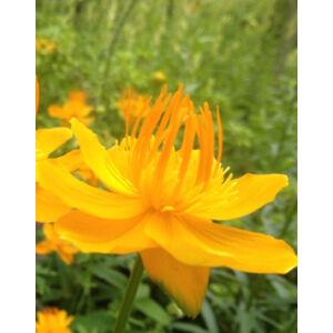 Trollius chinensis 'Golden Queen' - Kínai zergeboglár (narancsos-sárga)