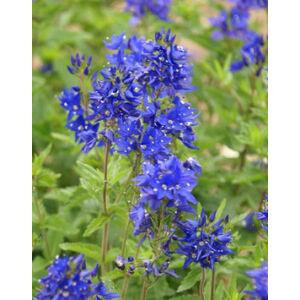 Veronica austriaca 'Crater Lake Blue' - Fogaslevelû veronika
