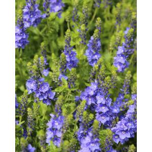 Veronica austriaca 'Venice Blue' - Kék veronika