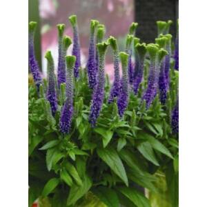 Veronica longifolia 'Christa' – Hosszúlevelű veronika