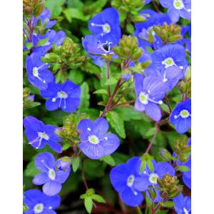 Veronica umbrosa 'Georgia Blue' - Veronika (kék)