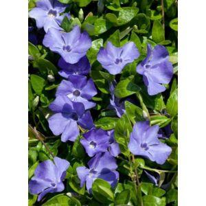 Vinca minor 'Anna' - Kék virágú kis télizöld