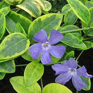 Vinca minor 'Blue and Gold' – Sárga-tarka levelű kis meténg