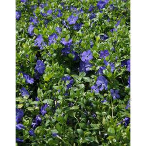 Vinca minor 'Bowles' - Kis télizöld (kék)