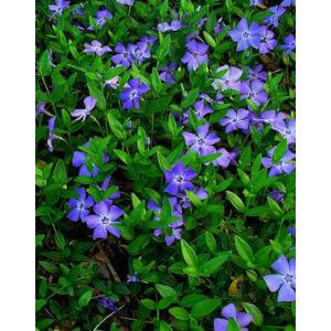 Vinca minor 'Flower Power' - Kis télizöld (halványkék)