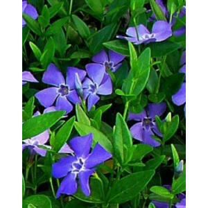 Vinca minor - Kis télizöld (kék)