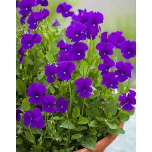 Viola cornuta 'Martin' – Szarvacskás árvácska