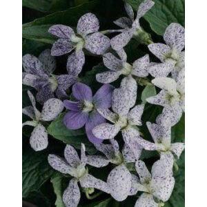 Viola sororia 'Freckles' - Pillangós árvácska