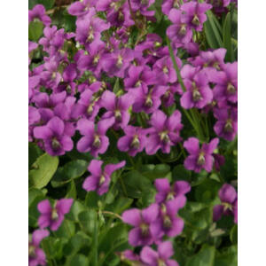 Viola sororia 'Rubra' - Pillangós árvácska