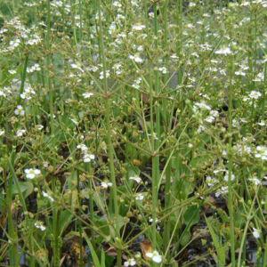 Alisma parviflora – Kereklevelű hídőr