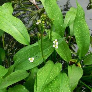 Alisma plantago-aquatica – Tavi hídőr