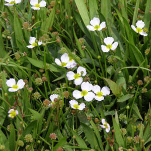 Baldelia ranunculoides – Bogláros kishídőr