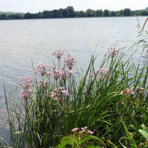 Butomus umbellatus – Virágkáka