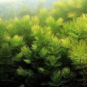 Ceratophyllum demersum – Érdeslevelű tócsagaz