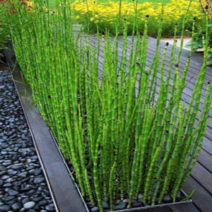Equisetum hyemale – Téli zsurló