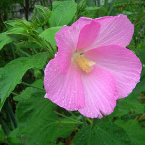 Hibiscus palustris – Mocsári hibiszkusz (rózsaszín)