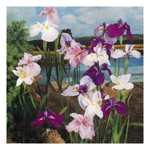 Iris kaempferi – Mocsári nőszirom