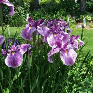 Iris kaempferi 'Prairie Glory' – Mocsári nőszirom