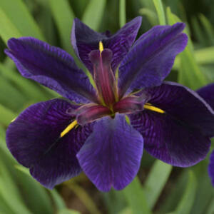 Iris louisiana 'Black Gamecock' – Nőszirom