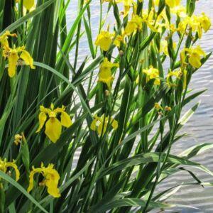 Iris louisiana 'Yellow' – Nőszirom