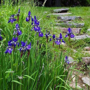 Iris versicolor – Foltos nőszirom