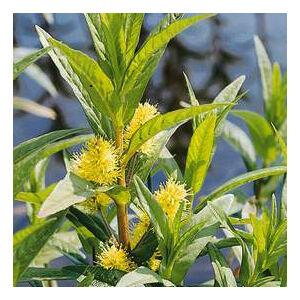 Lysmachia vulgaris – Közönséges lizinka