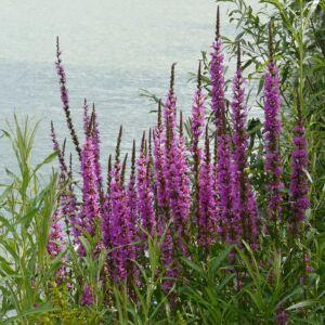 Lythrum salicaria – Réti füzény