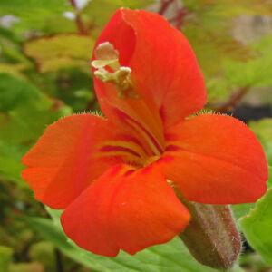 Mimulus cardinalis – Piros bohócvirág