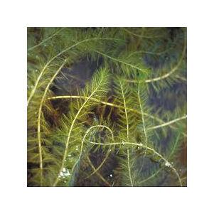 Myriophyllum spicatum – Füzéres süllőhínár