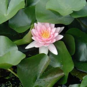 Nymphaea 'Fabiola' – Rózsaszín tavirózsa