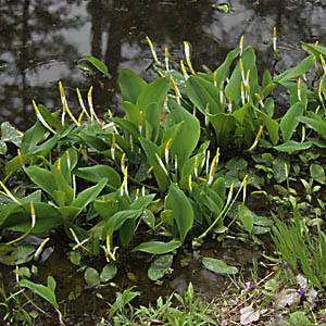 Orontium aquaticum – Vízi kontyvirág