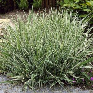 Phalaris arundinacea 'Picta' – Tarka pántlikafű