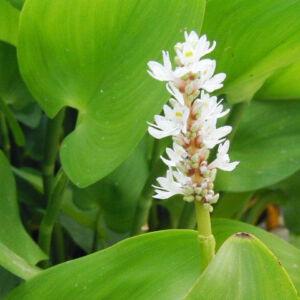 Pontaderia cordata 'Alba' – Fehér sellővirág