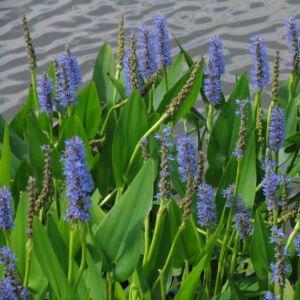 Pontaderia cordata – Kék tömött sellővirág