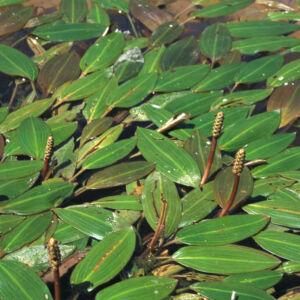 Potamogeton – Békaszőlő