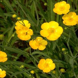 Ranunculus lingua 'Grandiflora' – Nagyvirágú nádi boglárka