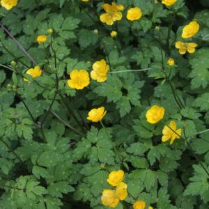 Ranunculus repens – Kúszóboglárka