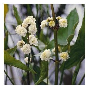 Sagittaria japonica – Széleslevelű nyílfű