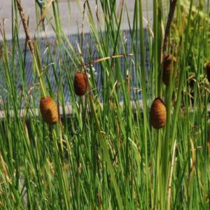 Typha laxmannii – Rizsgyékény