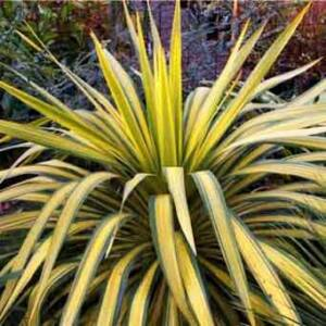 Yucca filamentosa 'Banana Split' – Kerti pálmaliliom